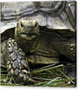 Tortoise's Stare Acrylic Print