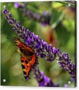 Tortoiseshell Butterfly On Lavender Acrylic Print
