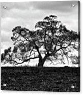 Tortue Oak Acrylic Print