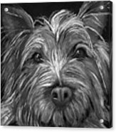 Tosha The Highland Terrier Acrylic Print