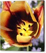 Totally Tulip Acrylic Print