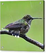 Totally Wet But Beautiful - Ruby-throated Hummingbird Acrylic Print