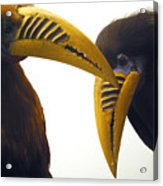 Toucan Play At That Game Acrylic Print