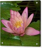 Touch Of Pink Acrylic Print by Karen Wiles