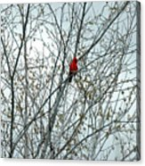 Touch Of Red Acrylic Print