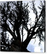 Tough Tree Acrylic Print
