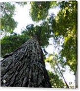Towering California Redwood Trees Acrylic Print
