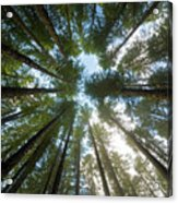 Towering Fir Trees In Oregon Forest State Park Acrylic Print