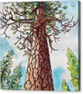 Towering Ponderosa Pine Acrylic Print