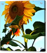 Towering Sunflower Acrylic Print