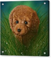 Toy Poodle Puppy Acrylic Print