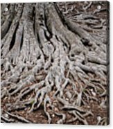 Tracing My Roots Acrylic Print