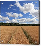 Tracks Through Wheat Field Acrylic Print