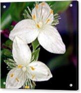 Tradescantia Flower Acrylic Print