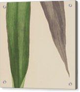 Tradescantia Odoratissima Acrylic Print