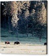 Trail Of Bulls Acrylic Print