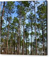 Trail Through The Pine Forest Acrylic Print