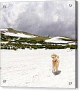 Traildog At Kingston Peak Snow Field Acrylic Print