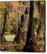 Tranquility In The Cyoress Forest Acrylic Print