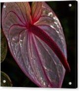 Translucent Beauty Acrylic Print