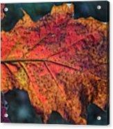Translucent Red Oak Leaf Study Acrylic Print