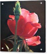 Translucent Rose Acrylic Print