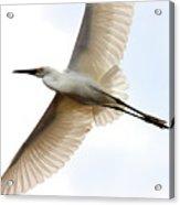 Transluscent Egret In Flight . 40d4992 Acrylic Print