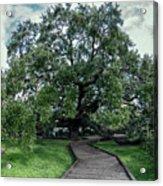 Treaty Oak 12-14-2015 048 Acrylic Print