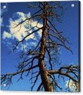 Tree At Bryce Canyon Utah. Acrylic Print