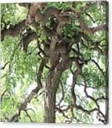Tree At Ming Tombs Acrylic Print