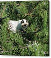 Tree Bandit Acrylic Print