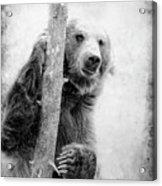Tree Bear Acrylic Print