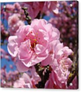 Tree Blossoming Pink Spring Blue Sky Baslee Troutman Acrylic Print