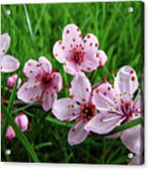 Tree Blossoms 4 Spring Flowers Art Prints Giclee Flower Blossoms Acrylic Print
