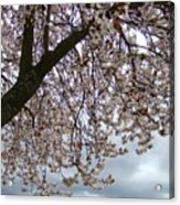 Tree Blossoms Landscape 11 Spring Blossoms Art Prints Giclee Sky Storm Clouds Acrylic Print
