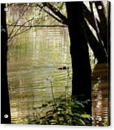 Tree Bowing To Swimming Beaver  Acrylic Print