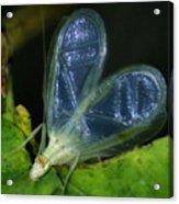 Tree Cricket Acrylic Print
