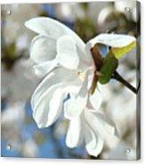 Tree Floral Garden White Magnolia Acrylic Print