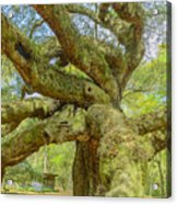 Tree For The Ages Acrylic Print