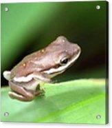Tree Frog Close-up 01110 Acrylic Print