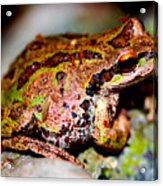 Tree Frog Close Up Acrylic Print by Nick Gustafson