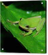 Tree Frog On Hibiscus Leaf Acrylic Print