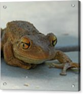 Tree Frog Out For A Walk Acrylic Print