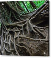 Tree From Manoa Falls Acrylic Print by Elizabeth Hoskinson