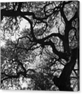 Tree Gazing Acrylic Print