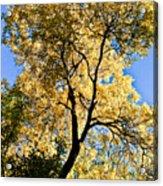 Tree In Fall Acrylic Print