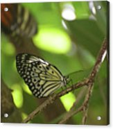 Tree Nymph Butterfly Sitting On A Tree Branch Acrylic Print