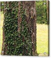 Tree Of Ivy Acrylic Print