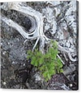 Tree On Rock Acrylic Print