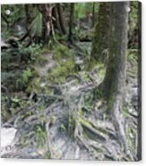 Tree Roots And Lithia Springs Acrylic Print